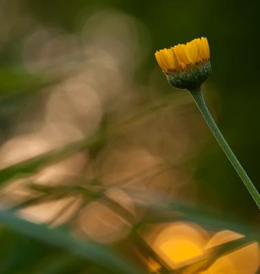 iowa, flower, sunset, spring, nature, photography, herrmann,