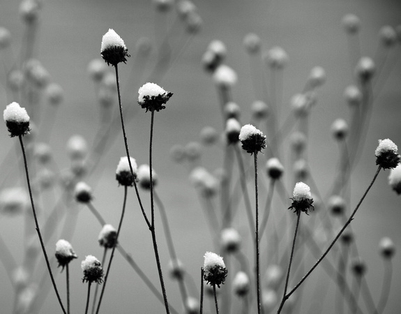Iowa bw snow thistles landscape macro herrmann snow thistles but creating a bw photo